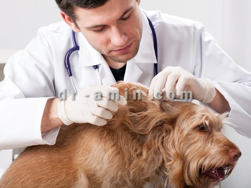 درمان کک و کنه سگ