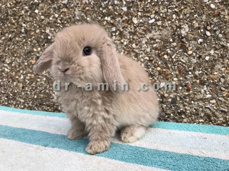فروش خرگوش مینی لوپ