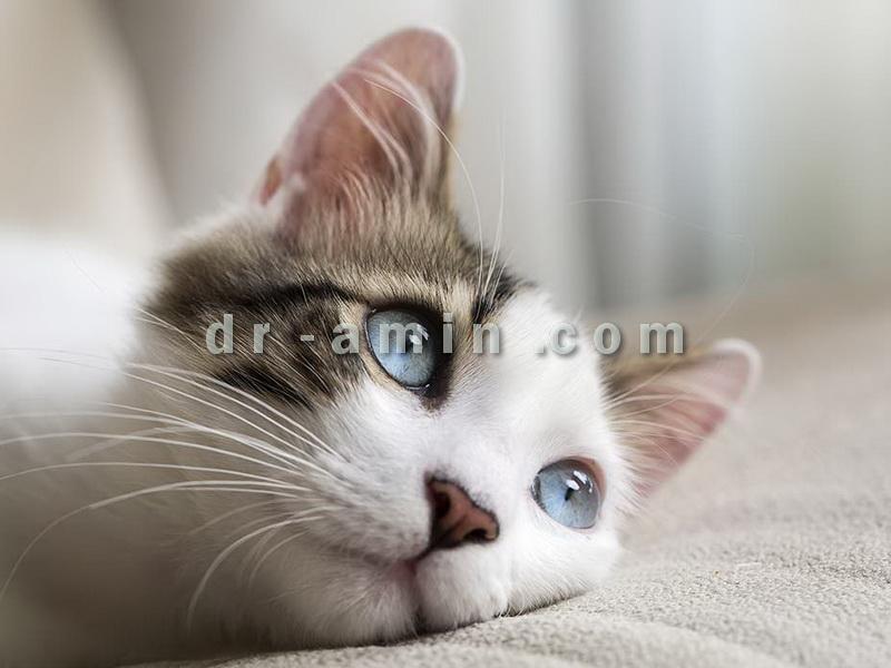 خرید و فروش گربه خانگی