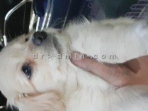 عمل جراحی چشم گیلاسی (بیرون زدگی غده اشکی) توله سگ 50 روزه - بعد از عمل