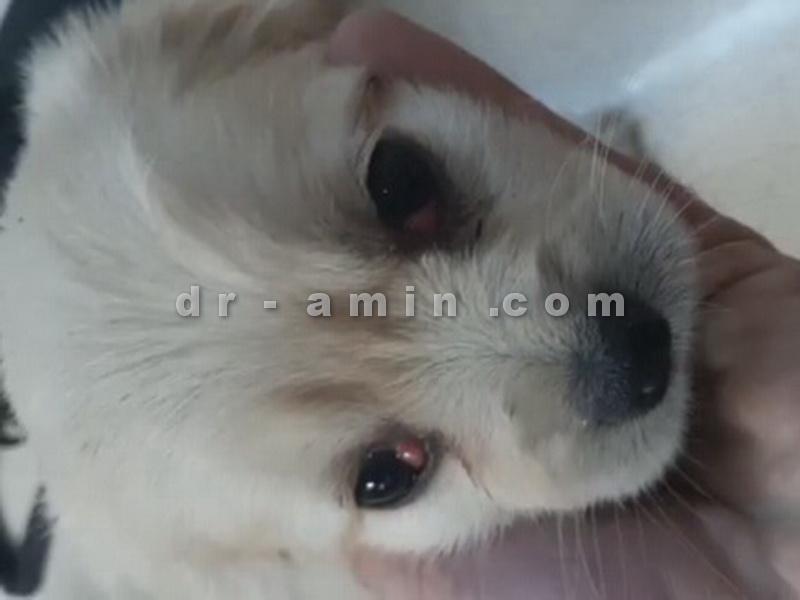 عمل جراحی چشم گیلاسی (بیرون زدگی غده اشکی) توله سگ 50 روزه - قبل از عمل