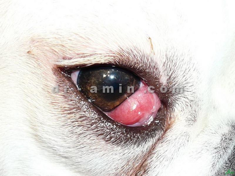 عمل جراحی چشم گیلاسی سگ