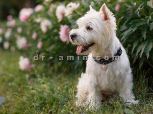 فروش سگ تریر شیراز