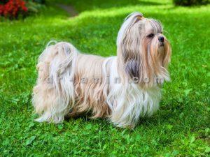 فروش سگ شیتزو شیراز