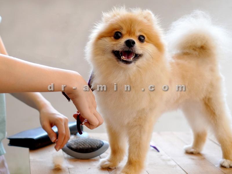 خرید سگ پامرانین