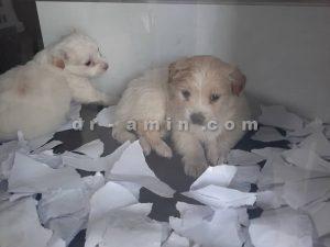 فروش توله سگ شیتزو شیواوا