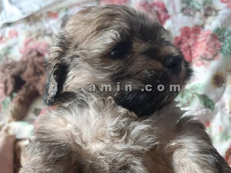 فروش توله سگ شیتزو پودل واکسینه شده