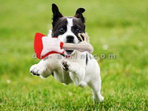 تربیت سگ خانگی